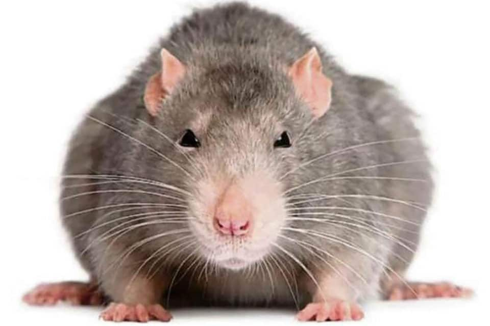A very fat mouse.