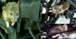 A collage of image sshowing mice in engines. The bottom right image shows a mouse with its mouth around a wire.
